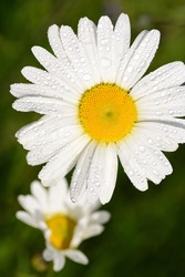 Close-up of a white marguerite with yellow pollen against a green background in spring with water droplets, in vertical format