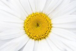 Close-up of a white ox-eye daisy flower with white petals and a yellow center. Background image