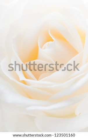 Close-up of a white rose. Shallow depth of field.