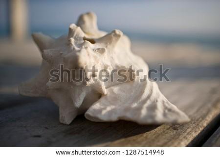 Close-up of a white seashell