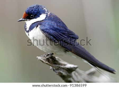 Close-up of a white-throated swallow perched on a rustic wooden structure