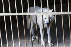 Close up of a White Wolf behind bars in captivity in a wildlife park in Lincolnshire during June 2021.