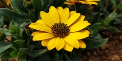 Close up of a yellow color wild 'Dimorphotheca ecklonis' flower against a bright nature background