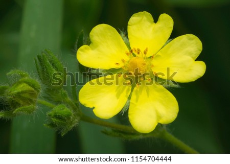 Close up of a yellow Common Cinquefoil flower. Also known as Old-field Five-fingers and Oldfield Cinquefoil. Rouge National Urban Park, Toronto, Ontario, Canada.