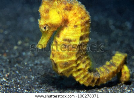Close-up of a Yellow Common Seahorse (Hippocampus Taeniopterus), Lembeh Strait, Indonesia