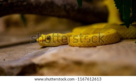 Stock Photo Close Up of a Yellow Eyelash Viper in the wild.