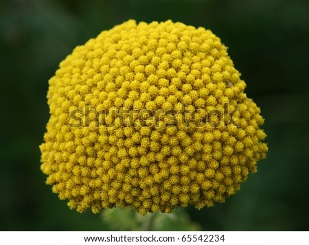 Close-up of a yellow flowered Yarrow