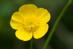 Close up of a yellow Meadow Buttercup flower. Also known as a Common, Giant, and Tall Buttercup. Presqu'ile Provincial Park, Brighton, Ontario, Canada.