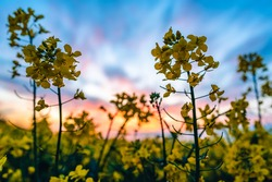 Close up of a yellow rapeseed flower. In the background is a colorful sunset and an entire rapeseed field. Shallow depth of field.