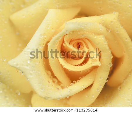 Close up of a yellow rose as background
