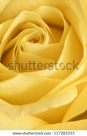 Close up of a  yellow rose flower