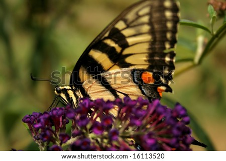 Close up of a yellow swallow tail butterfly on the bloom of a butterfly bush.