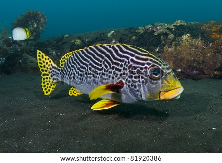 Close-up of a yellowbanded Sweetlips on the Liberty Wreck, Tulamben, Bali