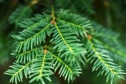 Close-up of a yew plant with shallow depth of field, beautiful green background
