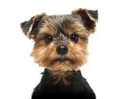 Close-up of a Yorkshire Terrier looking severly at the camera, 6 years old, isolated on white