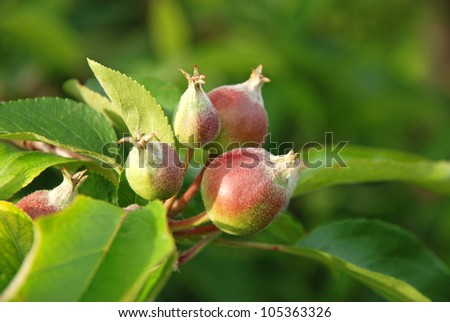 close-up of a young apple fruit - stock photo