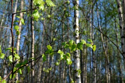 Close-up of a young birch tree green leaves on the background blue sky. Birch grove or forest in spring.