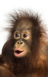 Close-up of a young Bornean orangutan looking amazed, Pongo pygmaeus, 18 months old, isolated on white