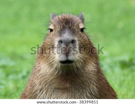 close-up of a young capybara