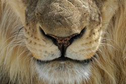 Close-up of a young male lion (Panthera leo) in Etosha National, Namibia, Africa.
