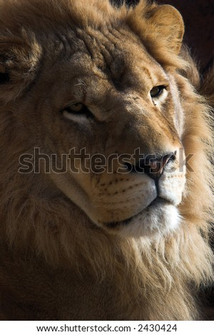 Close up of a young male lion's face