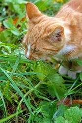 Close up of a young red cat sitting in garden plants and eating grass. Poland, Europe