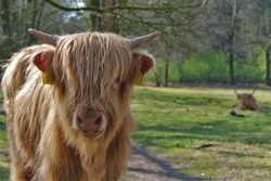 Close up of a young scottish highlander with wild hair in the woods with his herd