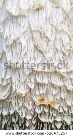 Close up of a young Shaggy Ink Cap (Coprinus comatus) #520475257