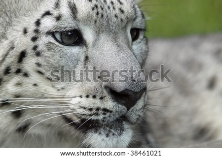 Close-up of a young Snow leopard