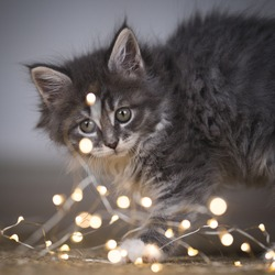 close up of a young tabby blue maine coon kitten looking curiously at christmas light string