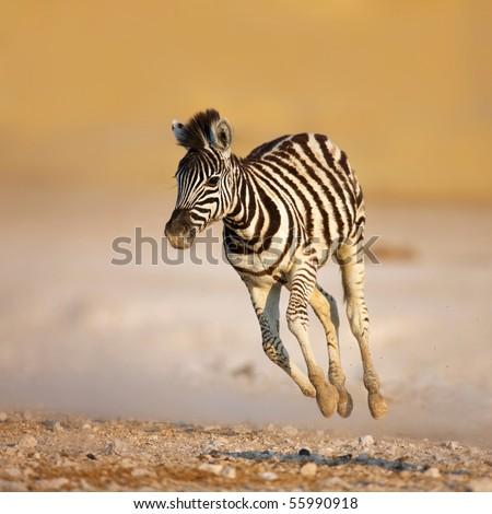 Close-up of a young zebra running on rocky plains of Etosha - stock photo