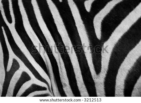 close-up of a zebra skin.