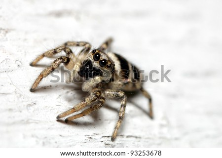 Close-up of a zebra spider (Salticus scenicus), a common jumping spider