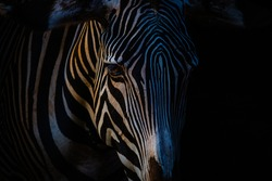 Close-up of a zebra with black background at sunset