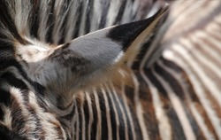 Close-up of a zebras hair/fur showing it's unique stripes and pattern including the zebra's head, ear and mane