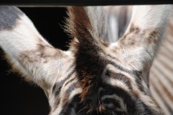 Close-up of a zebras head, ears and mane which shows it's unique stripes and pattern on it's hair/fur