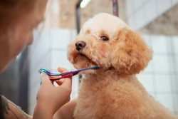 Close up of adorable fluffy dog getting its fur cut by professional dog groomer