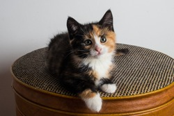 Close up of adorable 8 week old calico kitten. Tri colour baby cat with orange, black, and white coat. Female 2 month old rescue kitty ready to be adopted. Tortoise shell coat pattern.