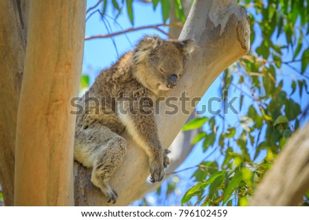 Close up of adult male koala, Phascolarctos cinereus, sleeps lying on branch of eucalyptus in Yanchep National Park in Western Australia. Yanchep has been home to a colony of koalas since 1938. #796102459