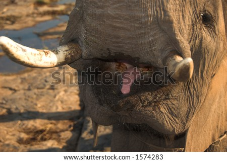 Close up of African bush elephant (Loxodonta africana) mouth