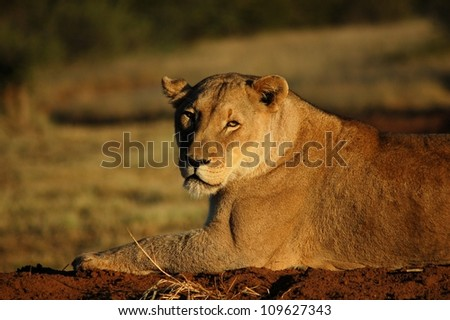 Close-up of African Lioness, Namibia