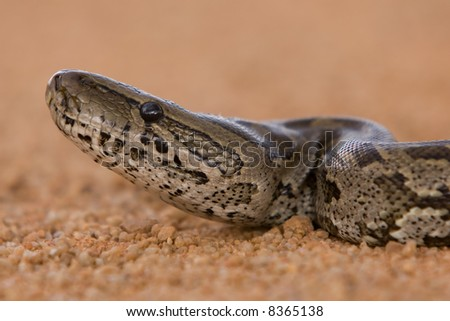 Close-up of African rock python