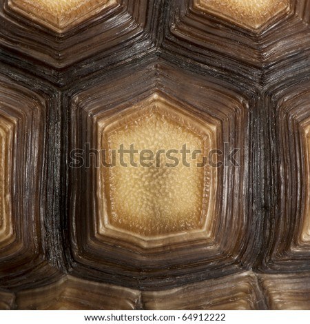 Close-up of African Spurred Tortoise shell, Geochelone sulcata, 1 year old