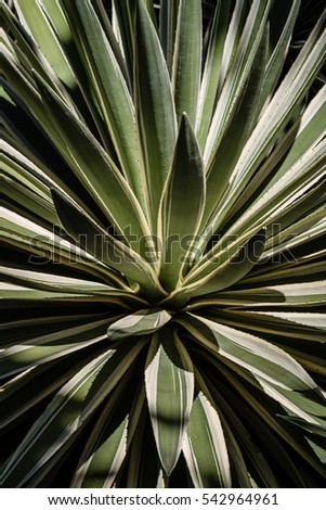 Close up of agave plant in Thailand