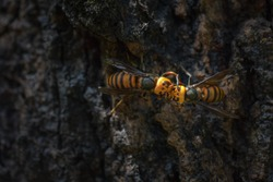 Close up of alive asian hornet in the forest