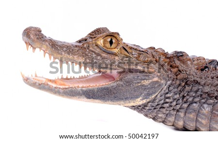 close-up of alligator on the white background