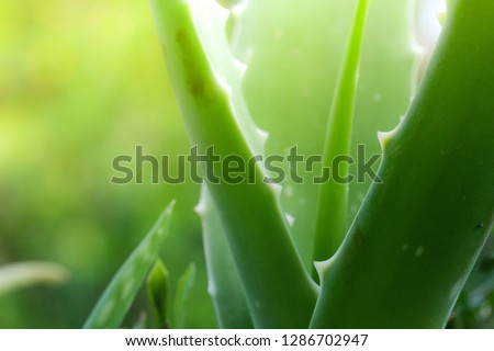Photo of Close up of aloe vera tree fresh and green leaves have medicinal properties. Royalty high-quality free stock photo image of fresh medicinal aloe vera plant in garden. Macro photo with copy space