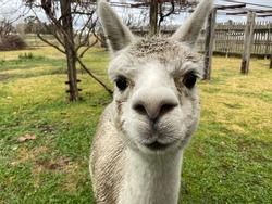 Close up of alpaca face. Cute llama staring with big brown eyes.