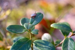 Close up of American dog tick crawling on cranberry leaf in nature. These arachnids a most active in spring and can be careers of Lyme disease or encephalitis. Nobody.