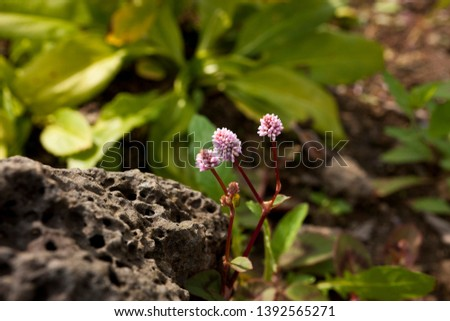 Close up of Ampelygonum umbellatum or Persicaria capitata (polygonum capitatum)